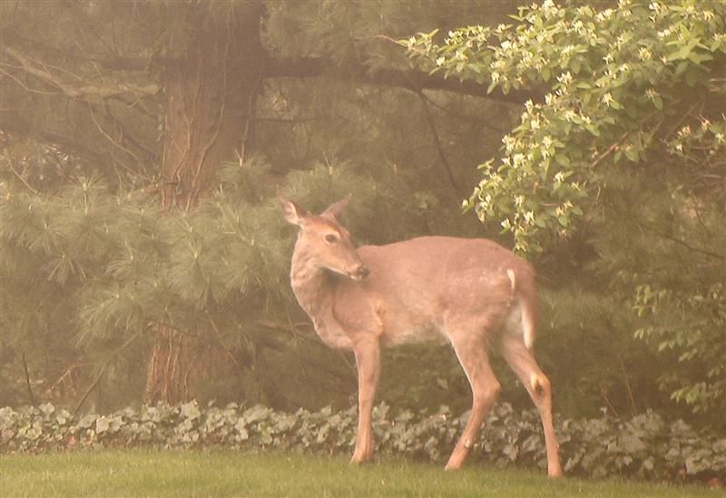 Pictures of deer in out backyard